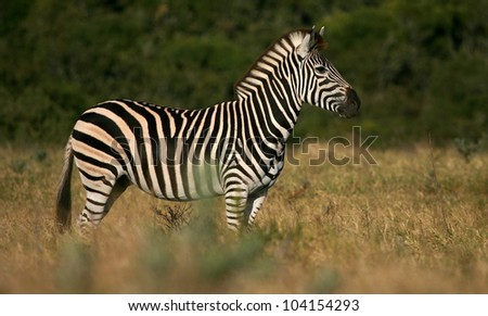A beautiful side profile portrait of this large stallion burchell zebra.Taken while on safari in Addo elephant national park,eastern cape,south africa - stock photo