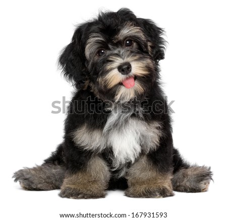 A beautiful smiling black and tan havanese puppy dog is sitting, isolated on white background - stock photo