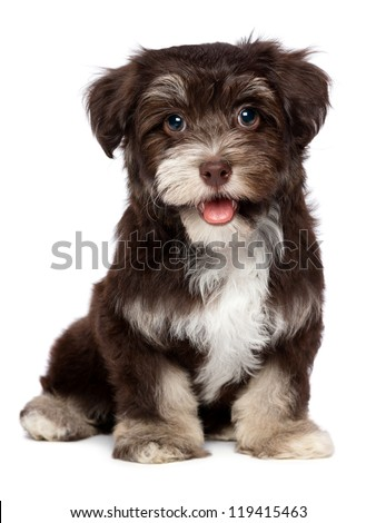 A beautiful smiling dark chocolate havanese puppy dog is looking at camera, isolated on white background - stock photo