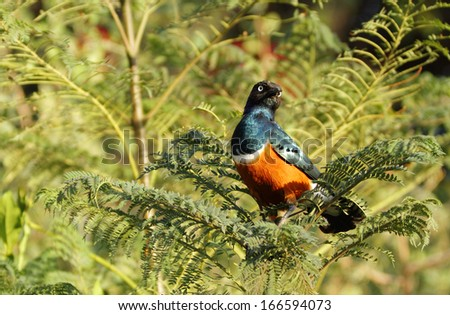 A beautiful splendid looking Superb Starling - stock photo