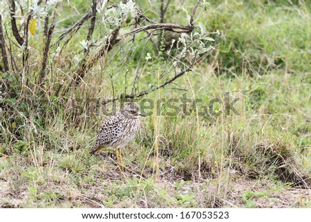 A beautiful Spotted Thick-knee bird - stock photo