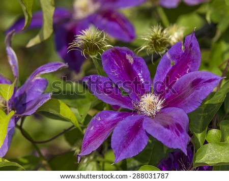 A beautiful spring clematis blooming - stock photo