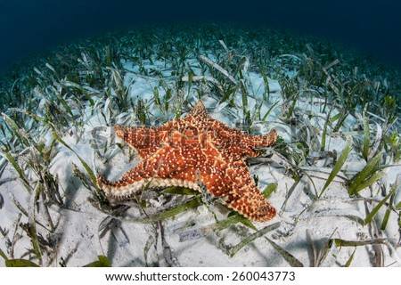A beautiful starfish (Oreaster reticulatus) crawls slowly across the shallow seafloor of Turneffe Atoll in Belize. This echinoderm is an omnivore and feeds on algae, sponges, and invertebrates. - stock photo