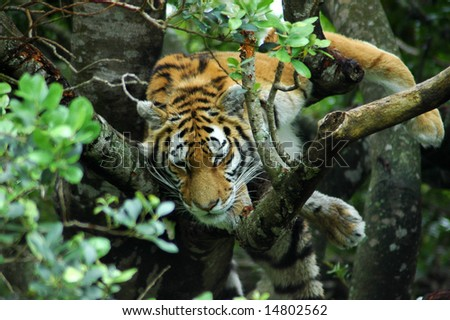 A beautiful tiger resting and sleeping high up in a tree - stock photo