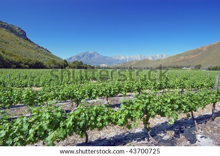 A beautiful vineyard set in a South African valley - stock photo