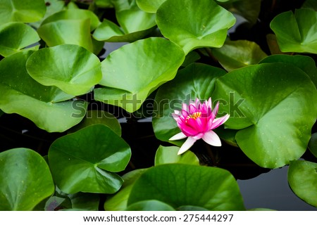 A beautiful water lily flower with colourful petals popping out of the pond water and surrounding green leaves. - stock photo