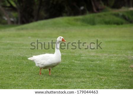A beautiful white duck  - stock photo