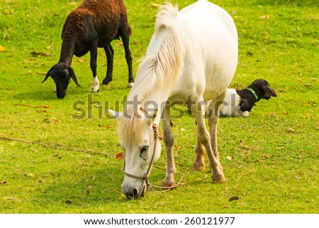 A beautiful white horse feeding in a green pasture with another lamb in background - stock photo