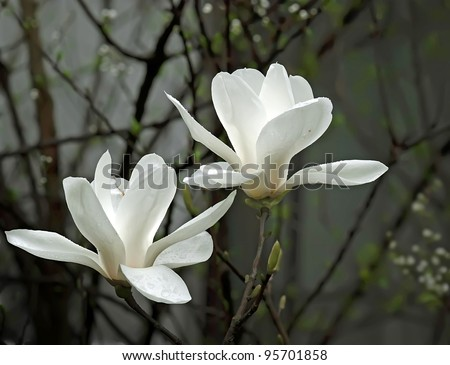 a beautiful white magnolia flower with fresh odor - stock photo