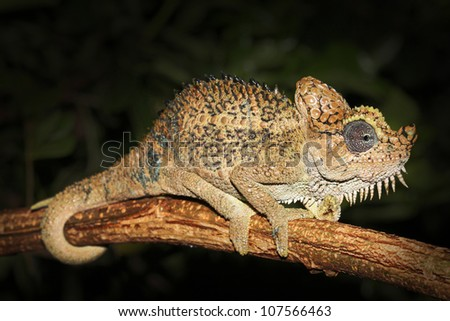 A beautiful WILD Von Hohnel's or Helmeted or High-casqued Chameleon (Trioceros hoehnelii) sits on a tree branch in Kenya, Africa. Isolated on black with plenty of space for text. - stock photo