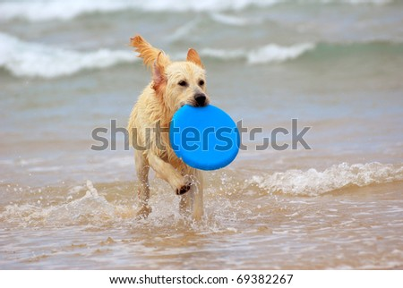 A beautiful young wet thoroughbred Golden Retriever dog playing with a blue frisbee and running in the water. - stock photo