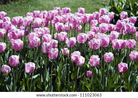 A bed of tulips of the Single Late Tulip 'Esther' genus in a park. - stock photo
