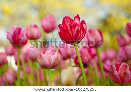 A bed of tulips planted for the tulip festival in Ottawa, Canada - stock photo