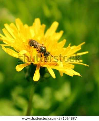 a bee collecting pollen on a yellow dandelion - stock photo