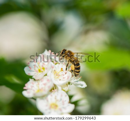 A bee collects nectar. Bloom. Hawthorn blossoms. Spring season. - stock photo