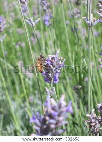 a bee in a filed near Stanford University - stock photo