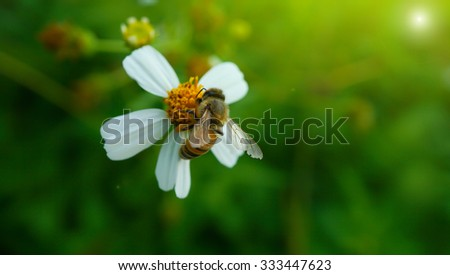 A bee on pollen of white flower isolated on blur green background - stock photo