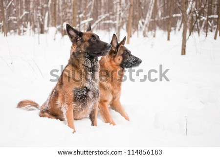 A belgian and a german shepherds sitting in snow - stock photo