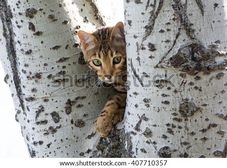 a bengal kitten is standing between two big birch tree branches in a park - stock photo