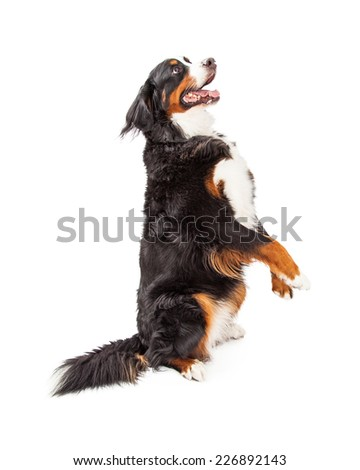 A Bernese Mountain Dog begging.  The dog is at an angle with relation to the camera.  - stock photo