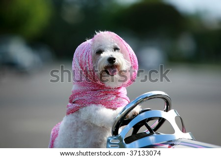 a bichon frise dog wears her pink scarf as she drives her hot rod pedal car around town - stock photo