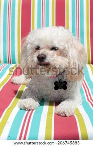 A Bichon Frise smiles as she relaxes a couch. This is a Foster dog that was abandoned at age 10, but rescued by a dog rescue group and adopted out to a loving family.   - stock photo