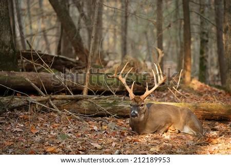 A big buck having rest. - stock photo