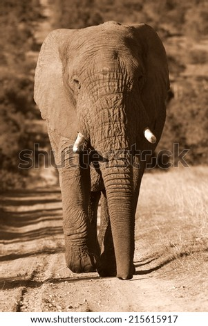 A big bull elephant walks towards the camera in this sepia tone image. - stock photo