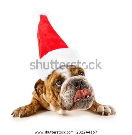 a big bulldog begging on a white background with a santa hat on for christmas - stock photo