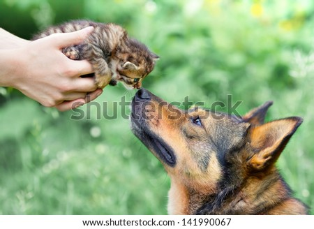 A big dog and a little kitten in female hands sniffing each other outdoor  - stock photo