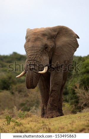 A big elephant bull smells the air in this low angle front on photo taken in South Africa. - stock photo
