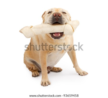 A big English Bulldog and Chinese Shar-Pei mix dog with a very large rawhide bone in his mouth - stock photo