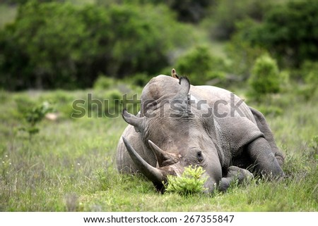 A big female white rhino and her baby calf, together in this nurturing, teaching photo taken in South Africa. - stock photo