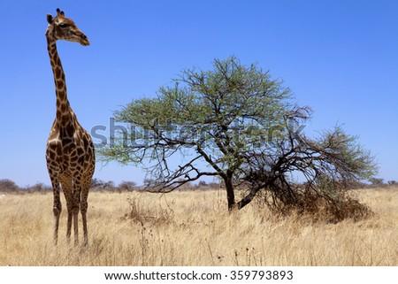 a big giraffe in etosha national park namibia - stock photo