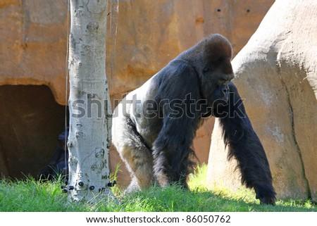 A big gruff gorilla walking around his habitat - stock photo
