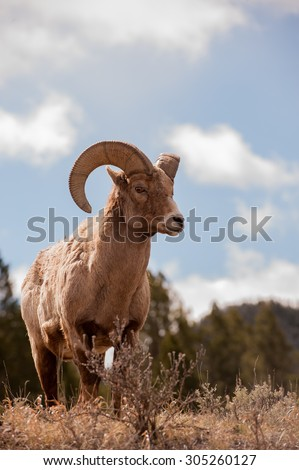 A big horn sheep ram standing on a hillside looking right; blue sky and clouds in the background - stock photo