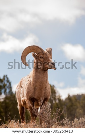 A big horn sheep ram standing on a hillside with blue sky and clouds in the background - stock photo