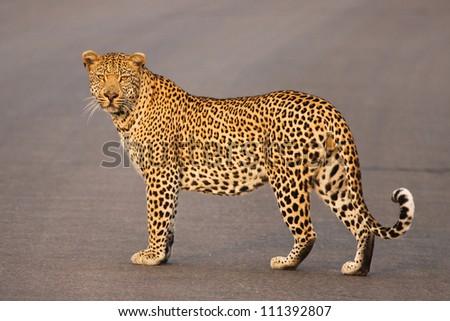 A big male leopard in his prime - stock photo