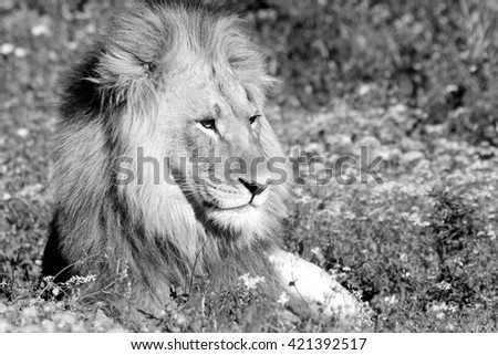 A big male lion in beautiful morning light. Taken on a wildlife safari in South Africa. - stock photo