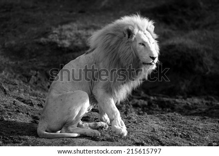 A big male white lion in this black and white image. - stock photo