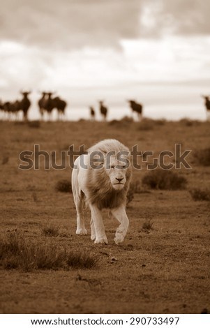 A big male white lion walks across a grass plain with some blue wildebeest watching from the background. South Africa - stock photo