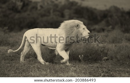 A big male white lion walks past our vehicle in this black and white image taken while on safari in Africa. He was hunting. - stock photo