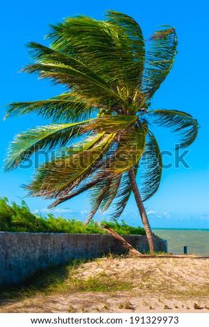 A big palm on the coast of Natal, Brazil - stock photo