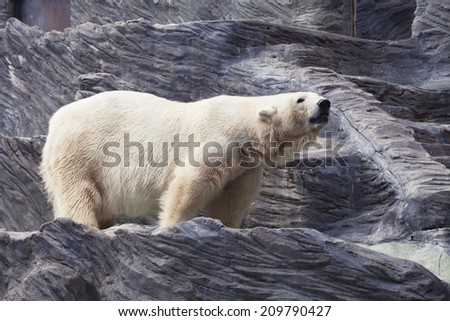 A big polar bear  in a zoo  - stock photo