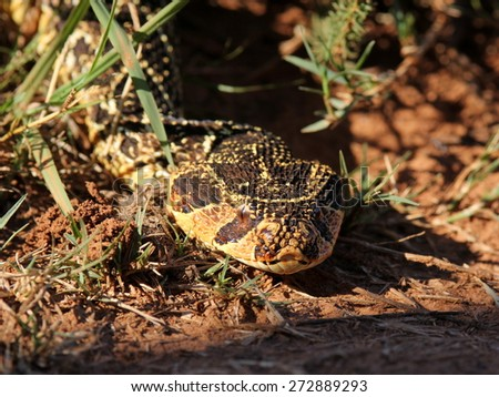 A big Puff Adder snake photographed in South Africa. Golden sun on its colorful body. - stock photo