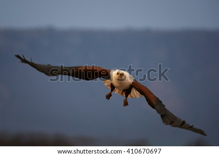 A big raptor, African fish eagle, Haliaeetus vocifer flying directly at camera with outstretched wings in evening light against blurred mountains in background. KwaZulu Natal, South Africa. - stock photo