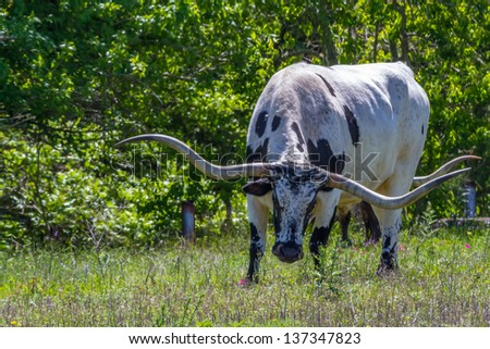 A Big Texas Longhorn Steer Grazing in a Pasture with Wildflowers Growing in Texas. - stock photo
