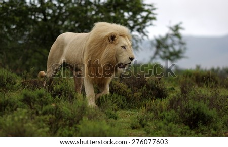 A big white lion walks past in this image. - stock photo