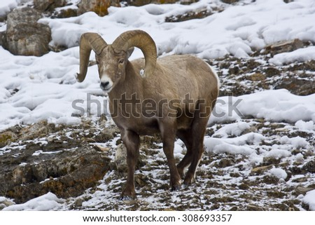 A bighorn sheep ram has its horn tips covered in snow. - stock photo