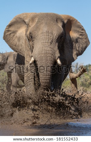 A bill African elephant bull splashes mud onto his body to cool down on a hot day in summer in Botswana - stock photo